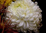 典雅高清杭白菊植物背景图片