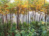 植物栾树图片茁壮挺拔