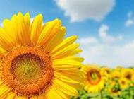 金灿灿的向日葵图片