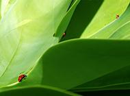 七星瓢虫绿色清新护眼壁纸