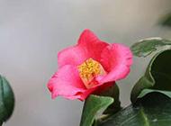 娇嫩欲滴的山茶花图片