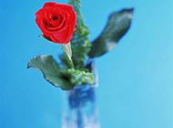 花瓶中的红玫瑰高清图片