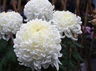 花团锦簇的白菊花图片
