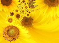 金灿灿盛开的向日葵花幻灯片背景图片