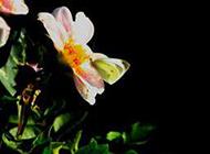 纯洁素雅的白蝴蝶花图片大全
