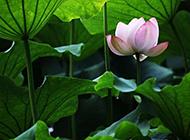莲叶下的粉红色荷花图片