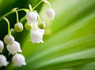 清新纯洁的铃兰花图片