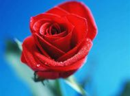 红玫瑰一枝独秀浪漫花卉精选图片