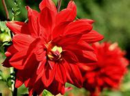 红色花朵背景摄影图片