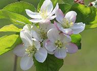 春天桃花粉嫩盛放图片