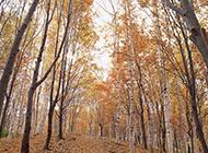 秋天的白桦树林景色图片