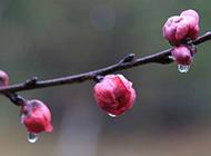 粉色桃花花蕾娇媚迷人