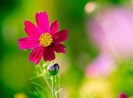 红色的野菊花唯美图片