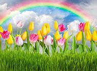 雨后彩虹下的郁金香图片