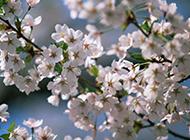 梦幻唯美的樱花高清图片