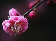 梅花图片素材冬日鲜花特写