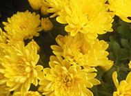 黄色菊花精美植物风景图片