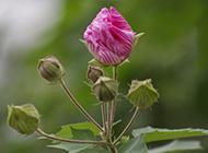 木芙蓉花图片娇媚含苞