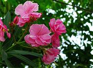 粉色夹竹桃图片娇媚迷人