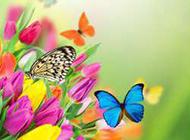 彩色郁金香背景素材欣赏