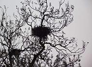 梧桐树上的鸟窝摄影图片
