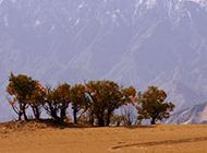 沙漠秋天胡杨树植物图片素材