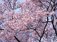 早春盛情绽放的樱花图片