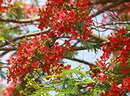 火红的凤凰花图片微距摄影