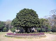 香味浓郁的桂花树摄影图片