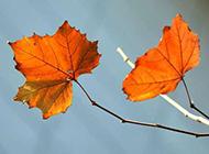 秋天枫叶植物枯黄图片素材