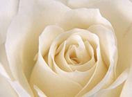 白色玫瑰花背景典雅清新