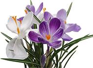 香兰花图片紫色花卉素材分享