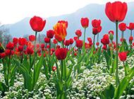 火红郁金香花园图片摄影