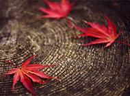 秋日红色枫叶背景素材