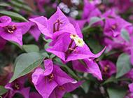紫色鲜花图片素材欣赏