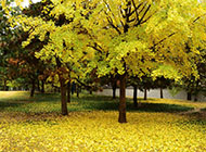 壁纸一棵银杏树树高清护眼素材