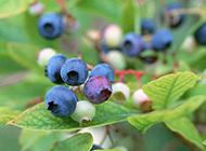 挂在树上的蓝莓