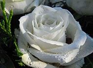 白玫瑰花语 纯洁天真的爱