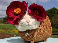 胖猫咪卖萌图片高清特写