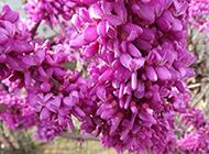 柳州紫荆花图片高清摄影赏析