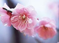 雨后桃花绽放小清新唯美风景壁纸