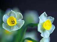 盆栽水仙花图片秀丽清雅