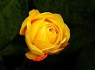 一枝黄玫瑰图片素材明艳诱人