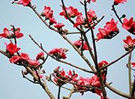 火红的木棉花高清图片
