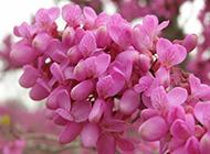 2016广州紫荆花图片开满枝头