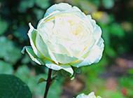 一朵好看的唯美白玫瑰图片