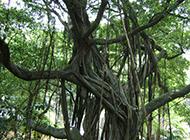 最大的榕树图片高耸挺拔