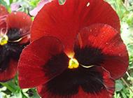 美丽的红色蝴蝶花图片