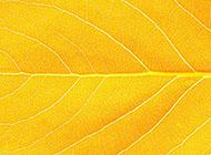 树叶金黄色纹理背景图片大全