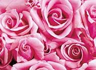 玫瑰花图片素材背景分享